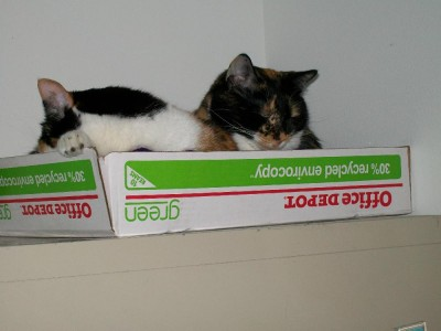 Two Calicos can fit in one paper box lid.